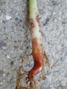 Dry bean root rot on an dry bean plant in which the bottom of the roots are a red-brown and there are necrotic lesions on the roots