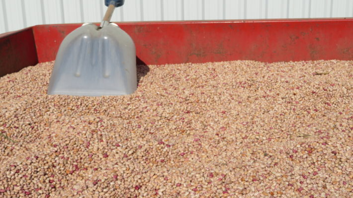 Harvested cranberry beans in a bin
