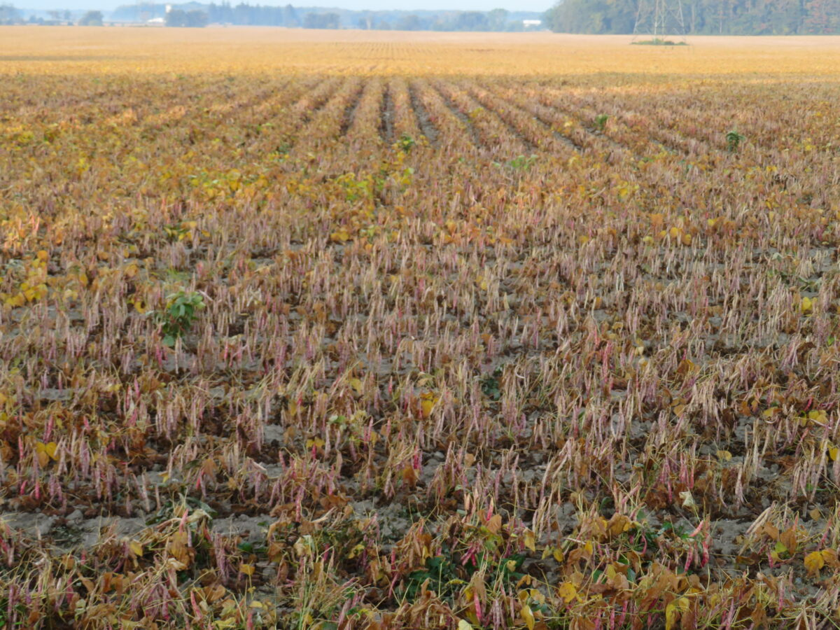 A overview of a dry bean field with desiccated beans
