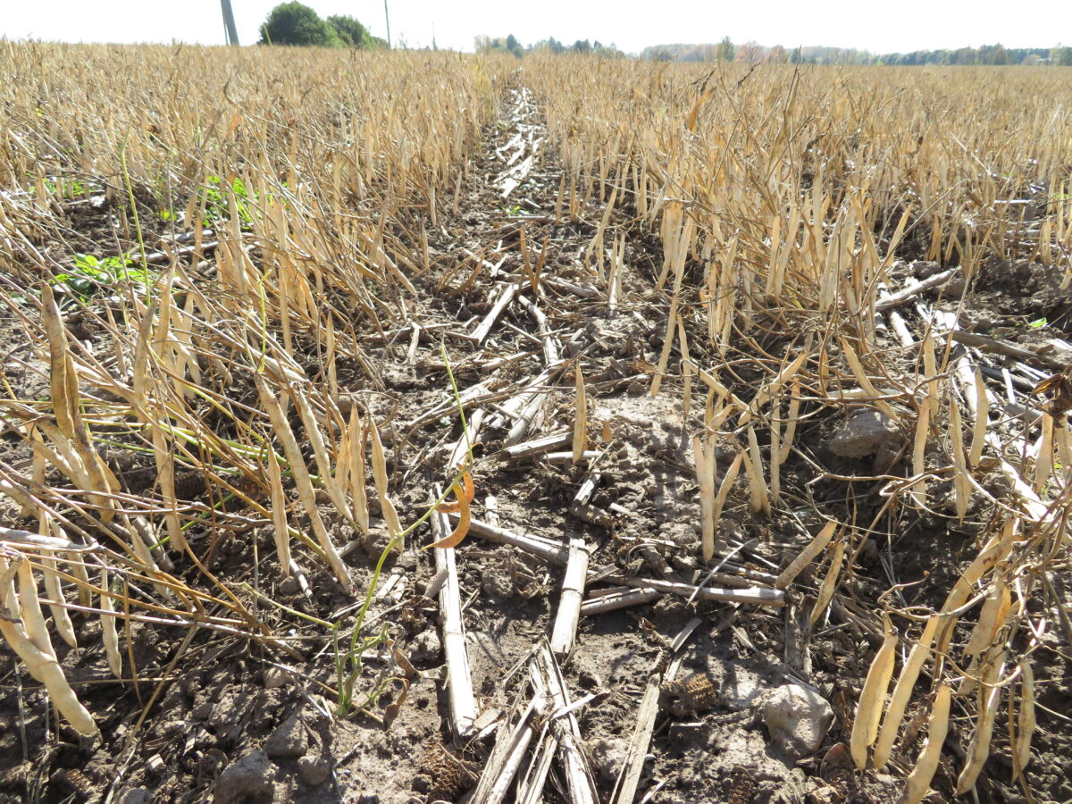 Desiccated kidney beans in the field