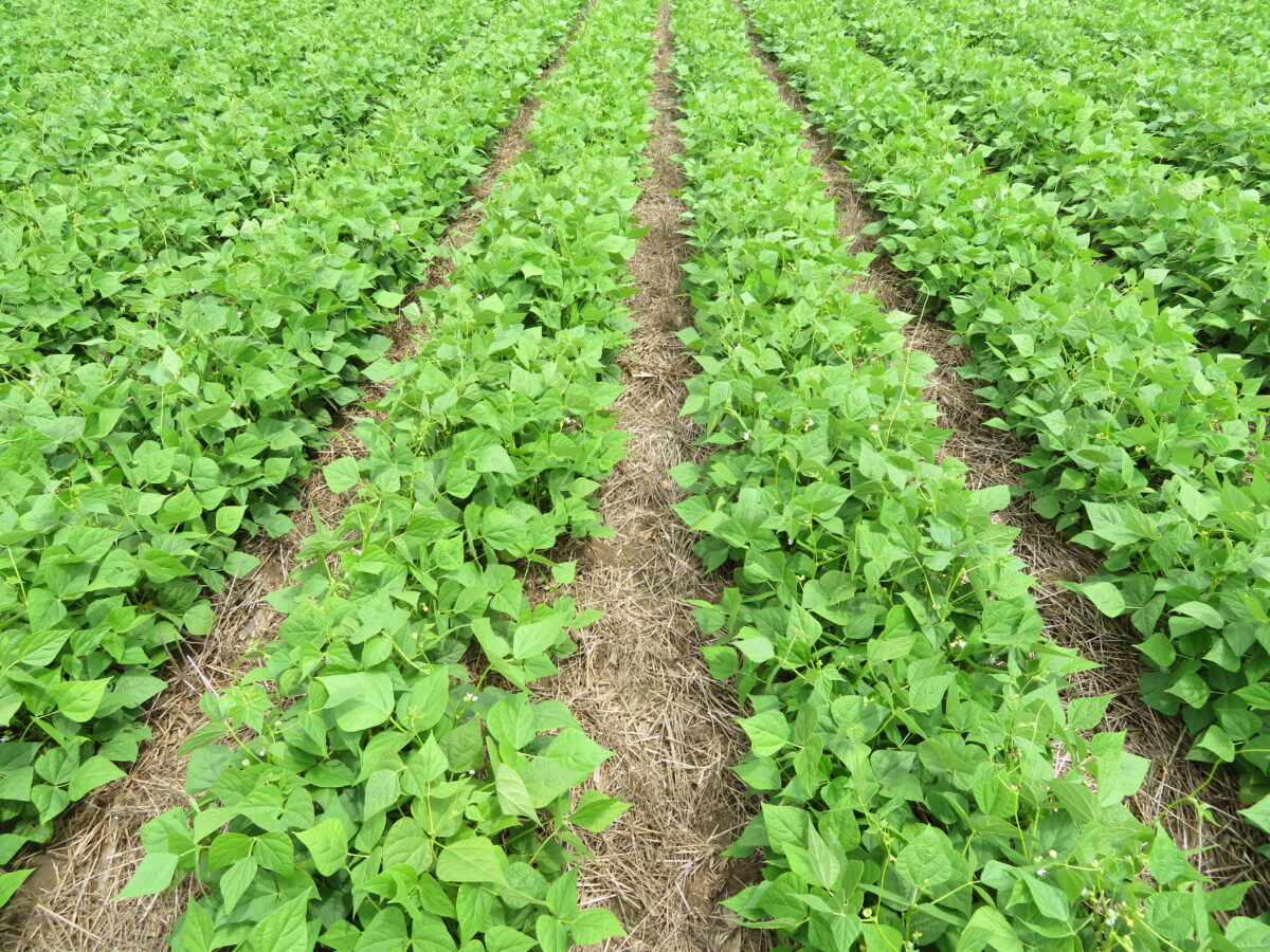 Rows of white bean plants in a strip-tilled field in which there is some residue left behind in between the rows on a tilled field