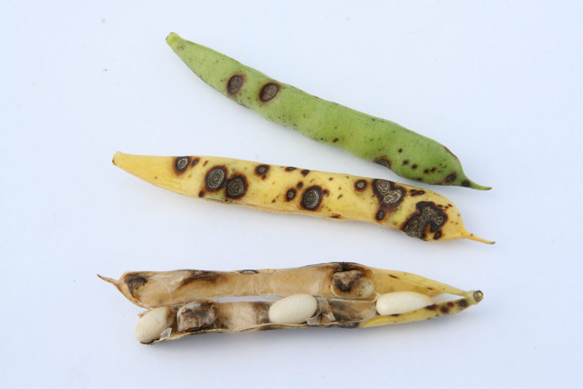 Three bean pods affected by anthracnose with the top-most pod green and least affected, the middle pod yellow and more affected, and the bottom-most pod opened and brown with affected seed to demonstrate the correlation of strobilurin fungicide application in preventing anthracnose damage