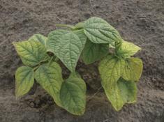 A dry bean plant in soil