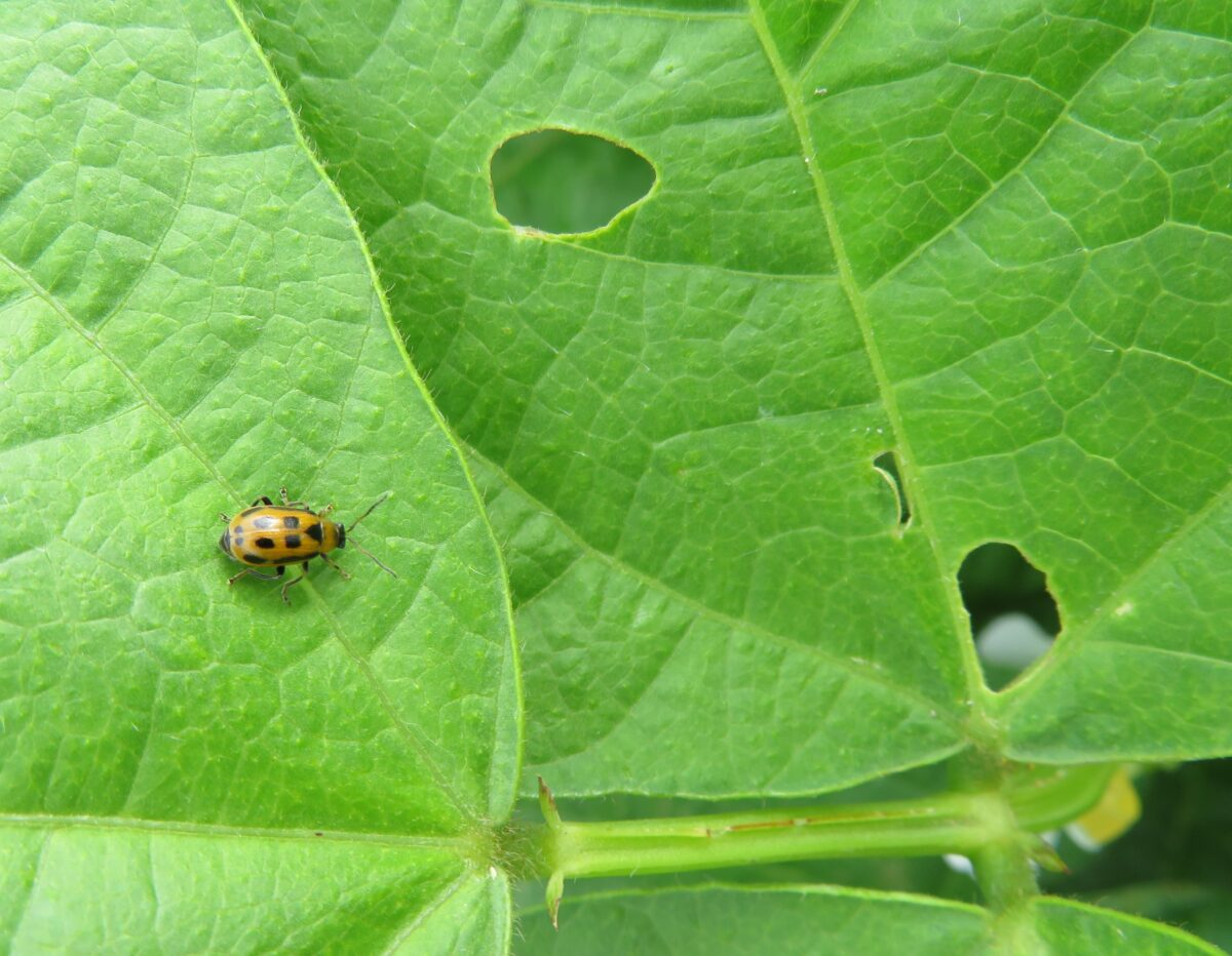 Bean leaf beetle at the yellow phase feeding on bean leaves leading to defoliation