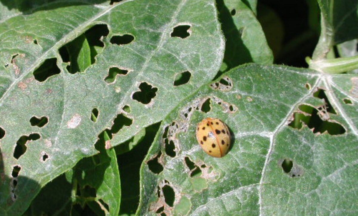 An oval copper- red Mexican bean beetle with black spots on a leaf with extensive defoliation of the leaf from Mexican Bean beetle feeding