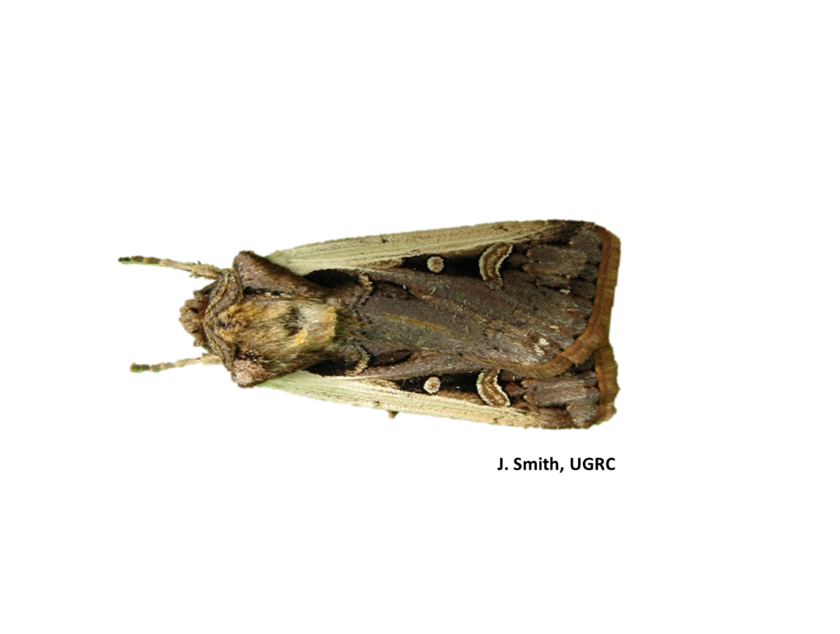 Picture of a single Western Bean Cutworm moth showing distinct characteristics of a white band on the side of each wing and a comma shaped mark two-thirds along down each wing