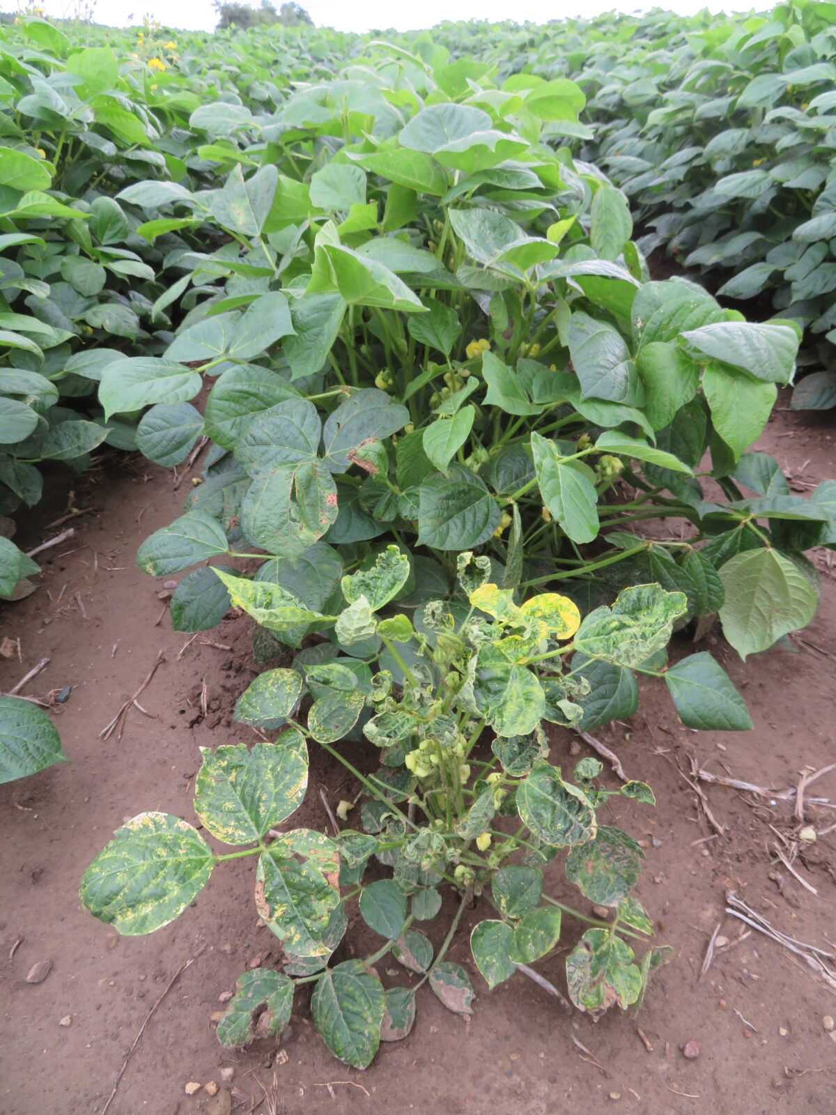 A photo of adzuki dry bean plants showing symptoms of alfalfa mosaic virus in which some of the leaves are dark green and yellow