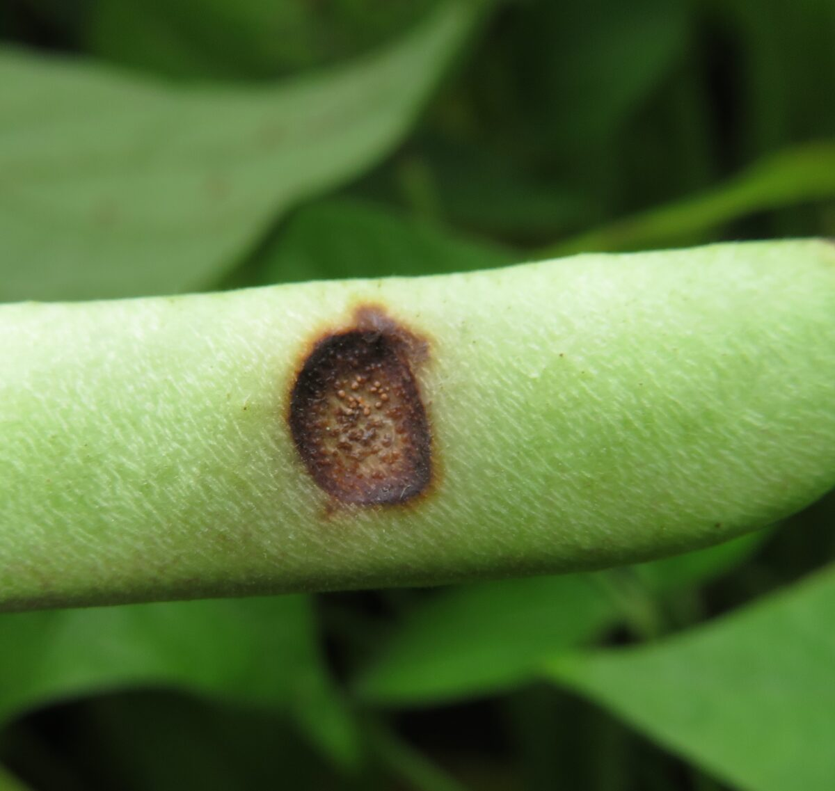 An anthracnose lesion on a dry bean pod in which the lesion has a dark brown ring surrounding a lighter brown area with many tiny brown-orange circles close together