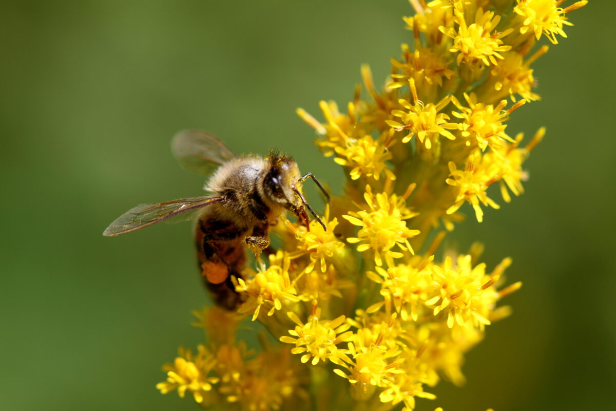 A bee on a yellow flowering plant