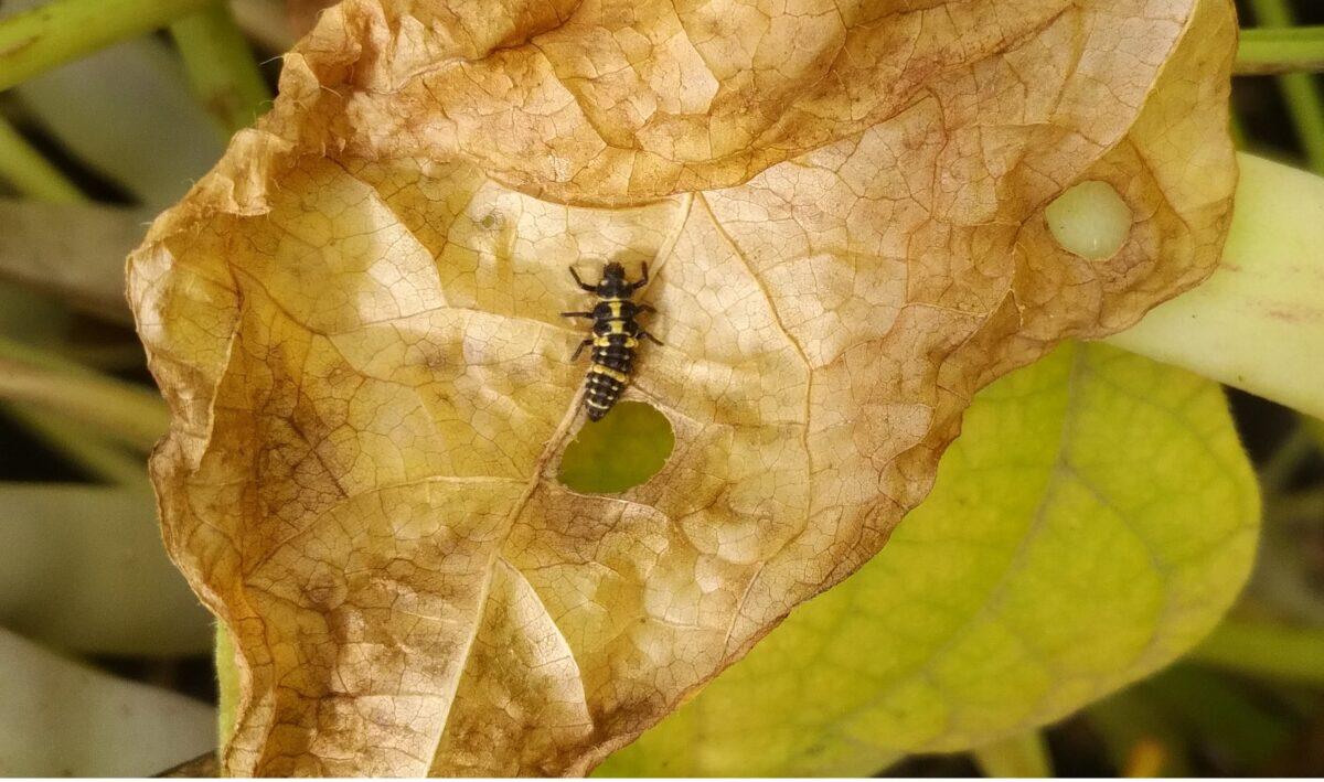Spotted ladybeetle larva on a necrotic plant leaf