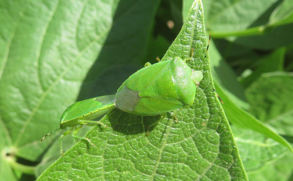 Adult green stink bug on the tip of a leaf