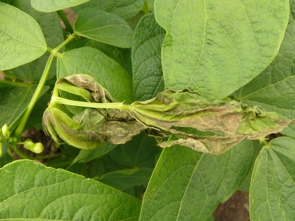 Dry bean plant affected by sunscald, or hot temperatures in which the leaves are shriveled and have large brown spots