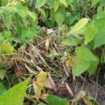 Stems of dry bean plants in a field bleached to a white colour as a result of white mould infection