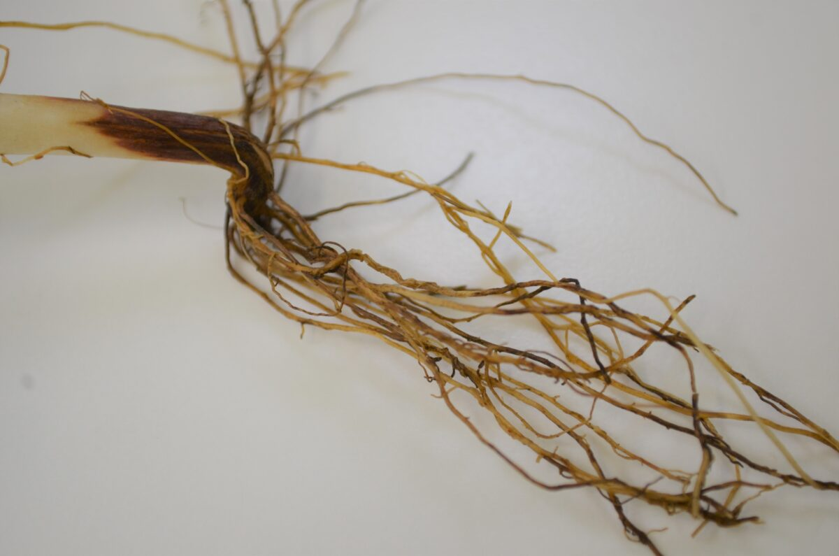 Root rot complex caused by a combination of fungal pathogens resulting in red-brown damaged roots