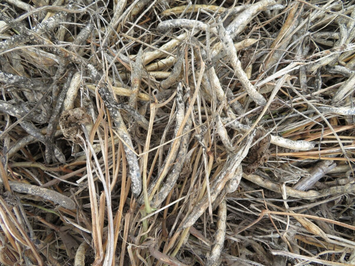 Close-up photo of brown pods surrounded by desiccated plant material with seeds ready to be harvested