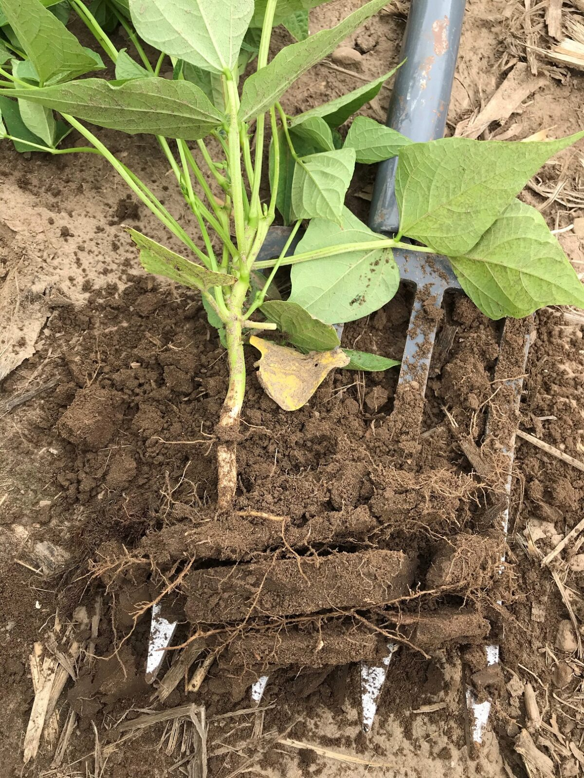 Pulled plant and underlying soil with three layers of compact soil