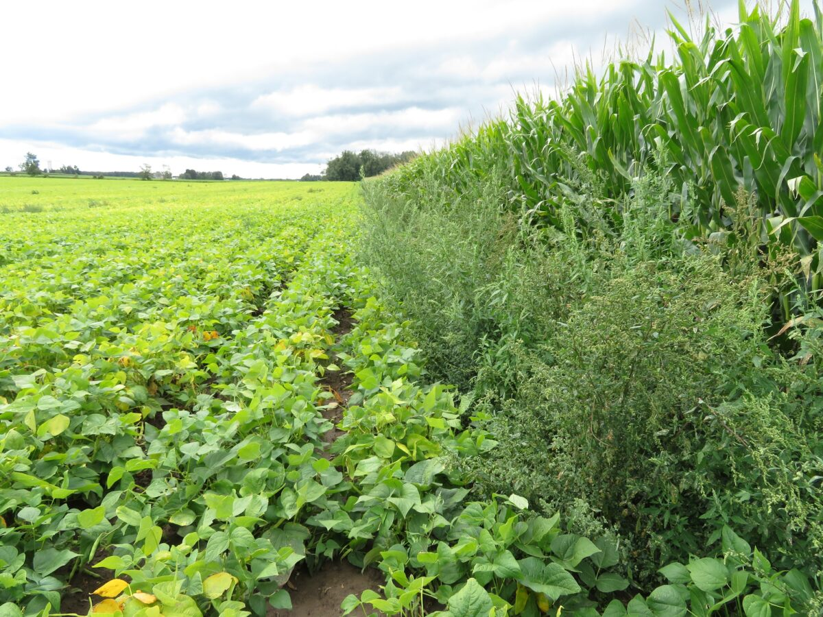 Edge of a dry edible bean field with weed growth