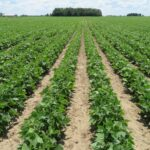 Multiple row of healthy dry bean plants in a field
