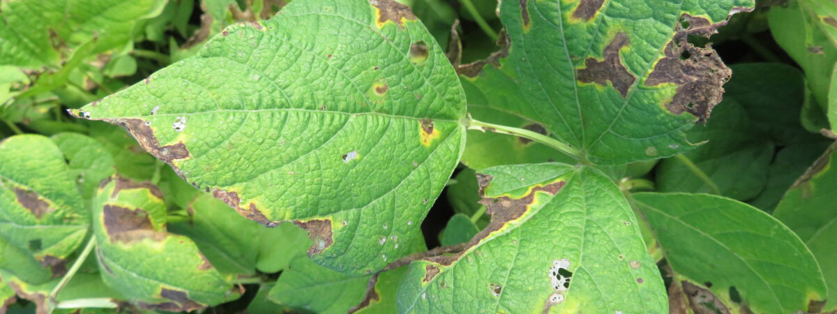 Leaves of dry bean plants showing symptoms of disease in the form of discolouration at the edges