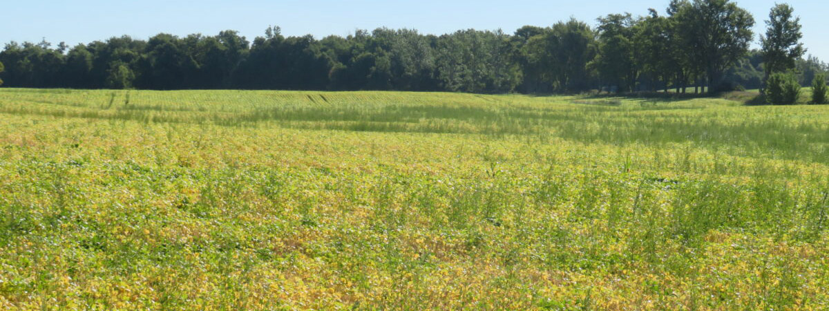 Overview of large field crop with many weeds growing among the plants